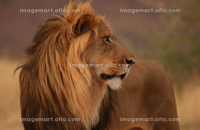 ライオンの販売画像