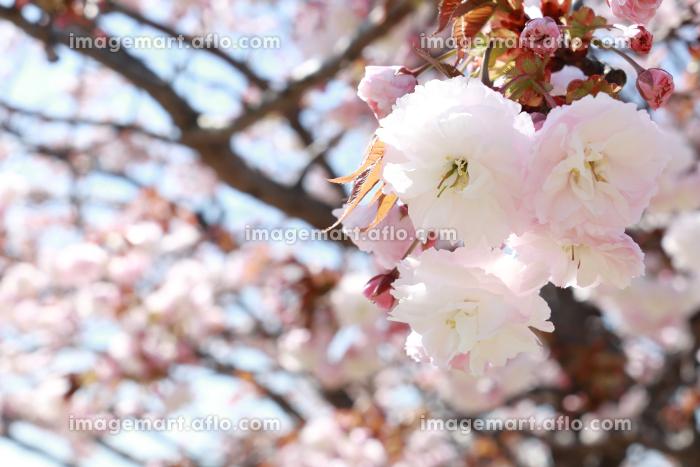 八重桜 2の販売画像