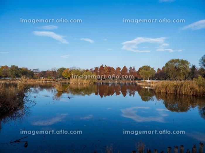 早朝の公園の風景 池と紅葉した木々 11月の販売画像