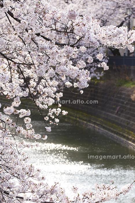神奈川県 横浜市 大岡川の桜の販売画像