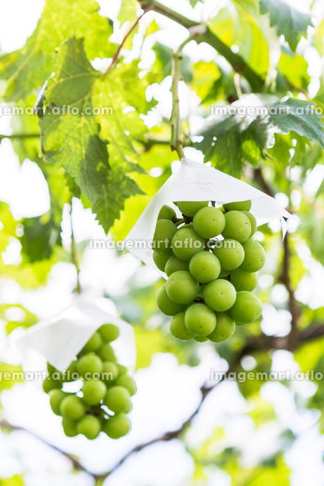 日本の山梨県・7月、収穫直前のブドウの販売画像