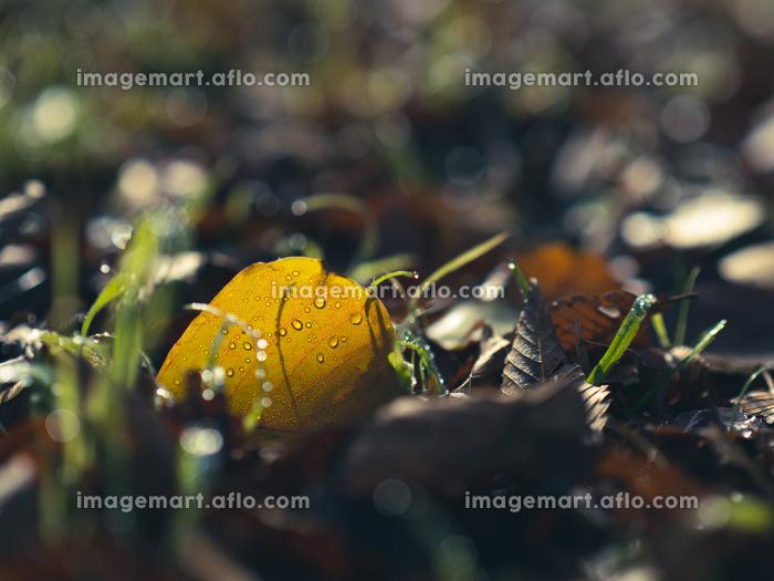 草原の落ち葉と朝露 11月の販売画像