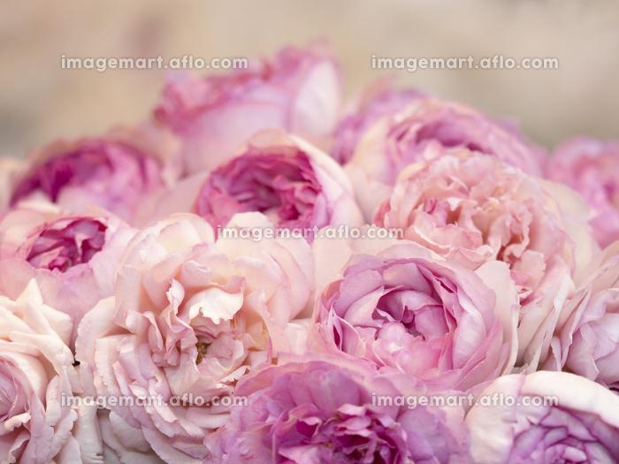 ピンクのバラの販売画像