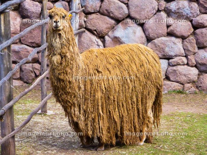ペルー・クスコ近郊のアルパカ牧場でのキャラメル色をした毛刈り前のアルパカの販売画像