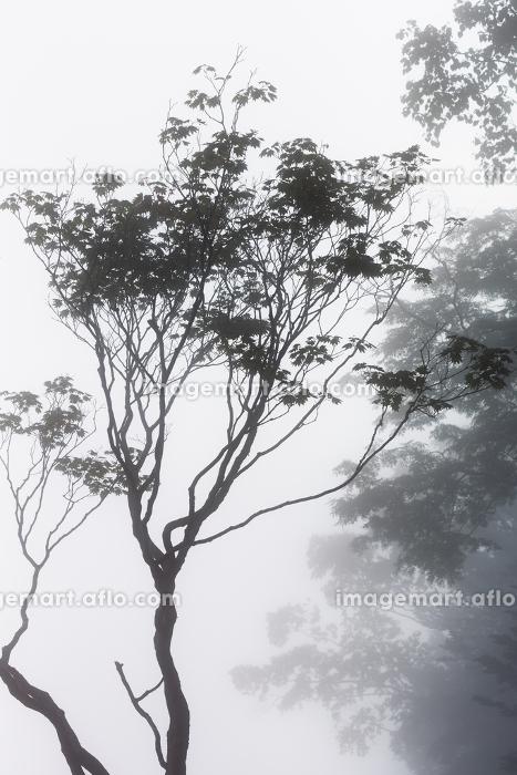 日本・7月の北海道、日勝峠の雲海と樹木の販売画像
