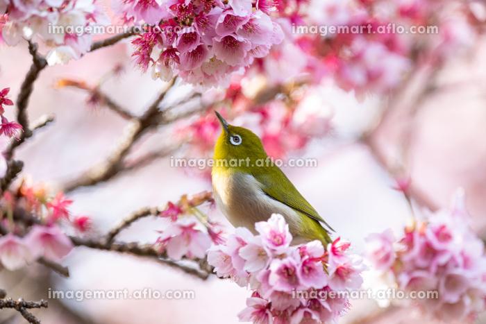 河津桜とメジロの販売画像