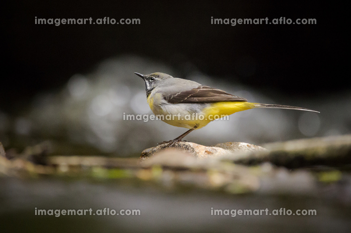A grey wagtail bird stood on a rock in a riverの販売画像