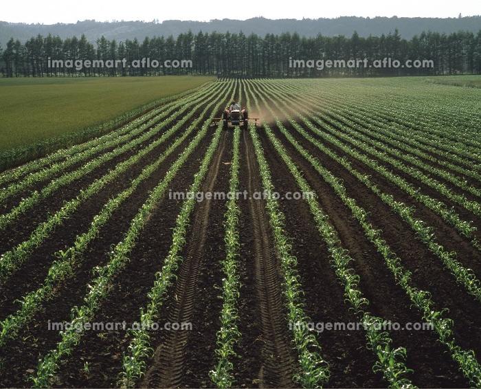 トウモロコシ畑のトラクター