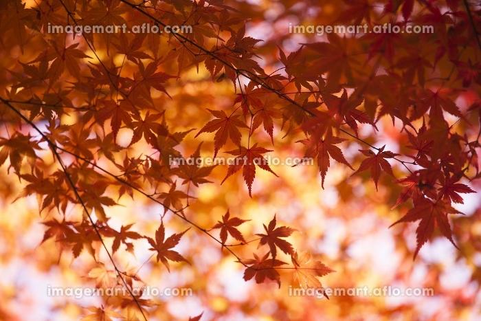 河口湖の紅葉の販売画像