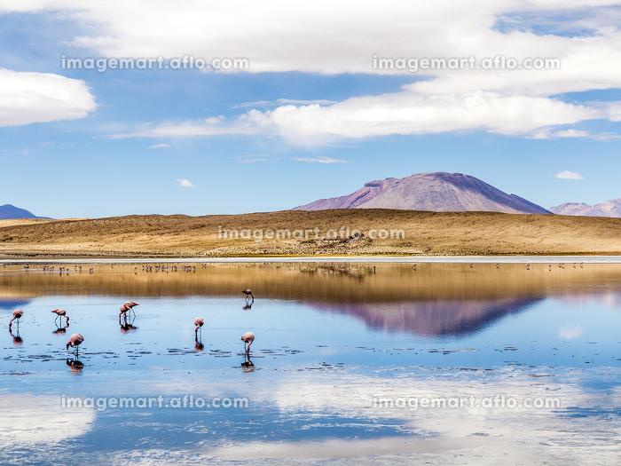 ボリビア ウユニ塩湖のフラミンゴたちの販売画像