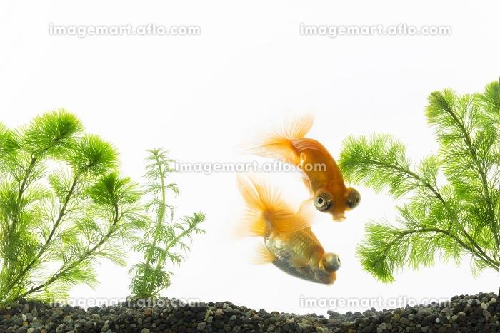 水槽で泳ぐ二匹の金魚の販売画像