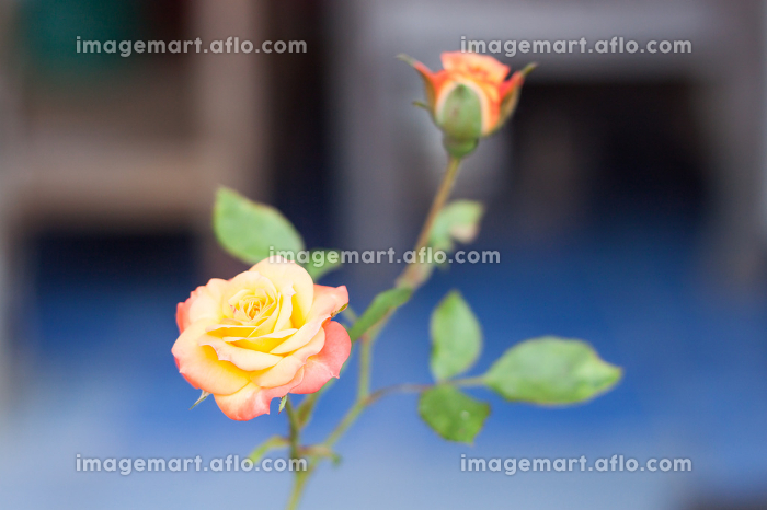 Orange rose growing in the gardenの販売画像