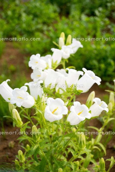 スズランの花(植物・イメージ・汎用)の販売画像