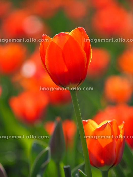 オレンジ色のチューリップの販売画像