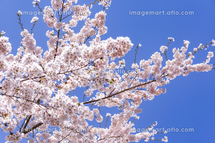 宮城県北部の加護坊山 桜満開の販売画像