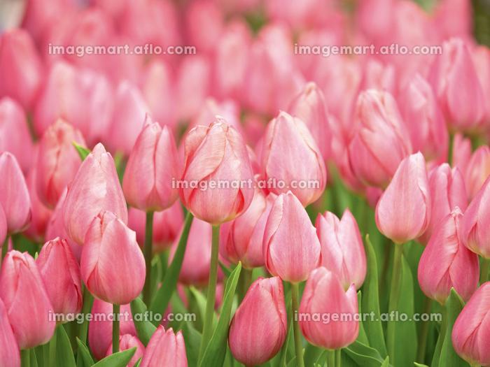 ピンクのチューリップの販売画像