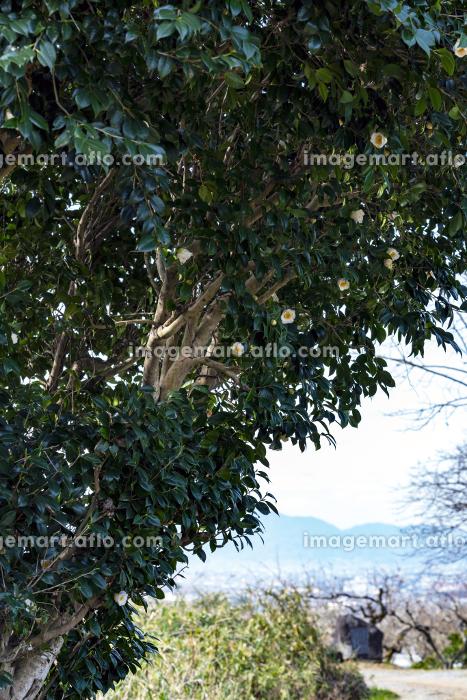 白椿咲く山の辺の道の販売画像