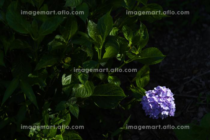 梅雨の合間の晴れに輝く紫陽花の販売画像