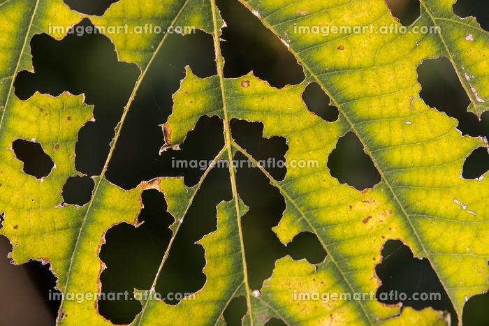 虫食いだらけの葉の販売画像