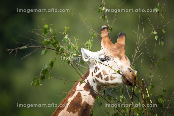 Giraffe (Giraffa camelopardalis) on green backgroundの販売画像