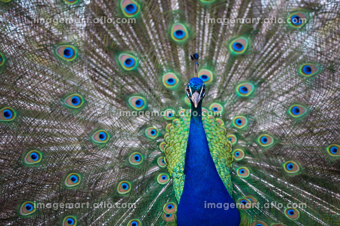 Splendid peacock with feathers out (Pavo cristatus) (shallow DOF  color toned image)の販売画像
