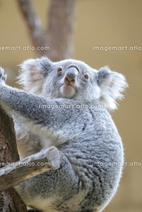 木登りするコアラ 合格祈願の販売画像