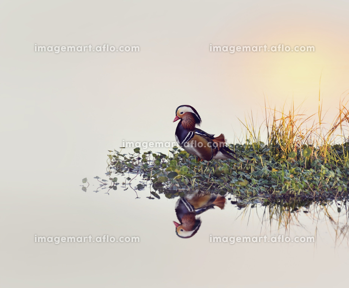 鳥 日没 夕方の販売画像