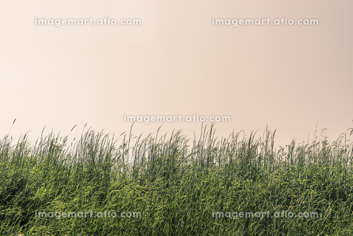 Tall grass on a meadow with clear skyの販売画像