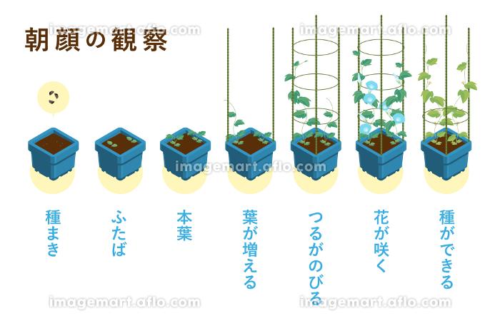夏休みの宿題の定番 朝顔の成長過程のベクターイラスト(朝顔角鉢・4本支柱)の販売画像