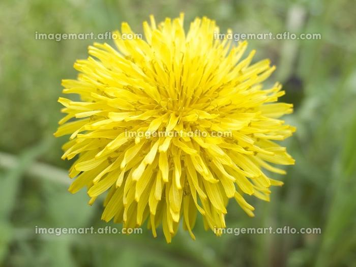 タンポポの花