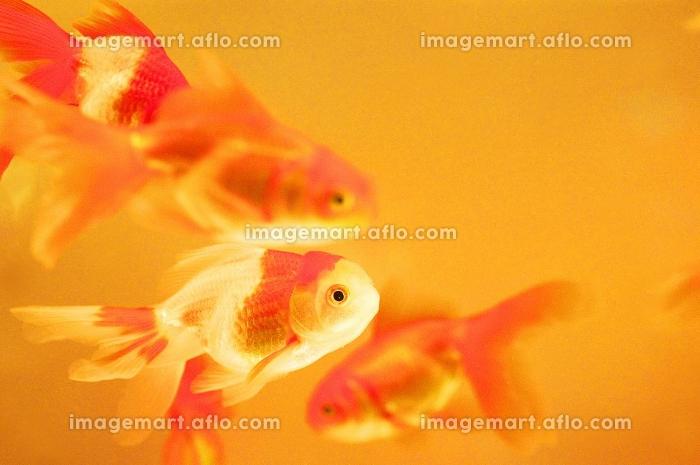 水槽の中の金魚の販売画像