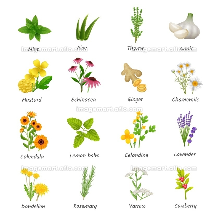 Medicinal  Herbs Plants Flat Icons Set. Healing herbs and medicinal plants flat icons collection with ginger chamomile and garlic abstract isolated vector illustrationの販売画像