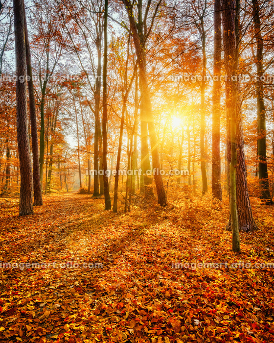 Sunset in the autumn forestの販売画像