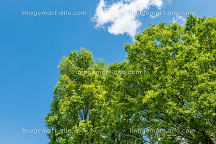 青空と風に揺れる新緑の木々 4月の販売画像