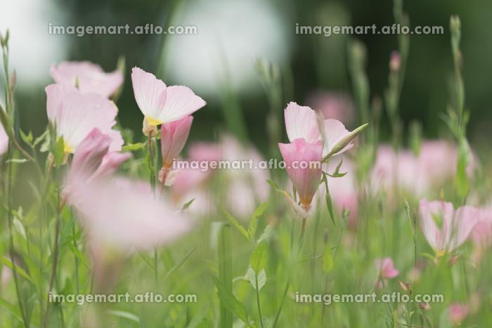 野原の昼咲き月見草 6月の販売画像