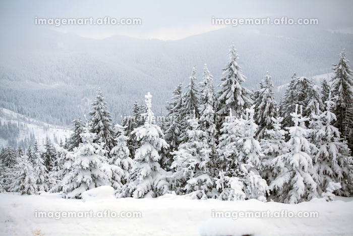 Snow covered pine forest in the mountainsの販売画像