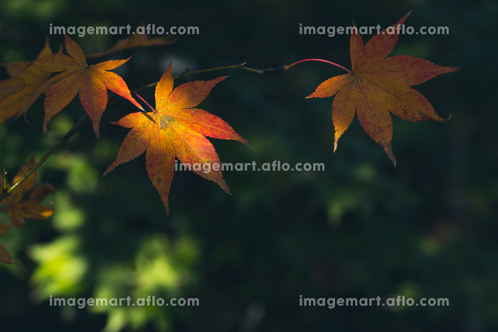 美しく色づいたモミジの葉 11月の販売画像