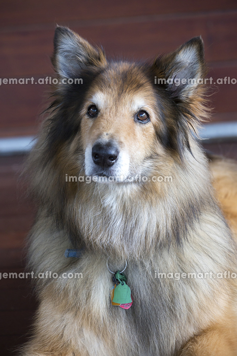 A close-up portrait of collie dog mix lying on wood floor indoorの販売画像