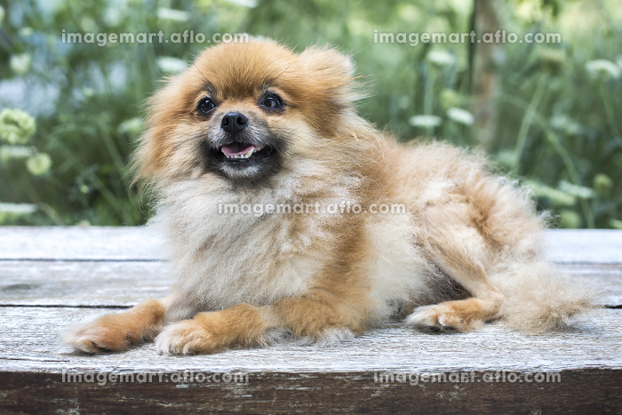 Close up portrait of a Pomeranian dog on deck with greenery behindの販売画像