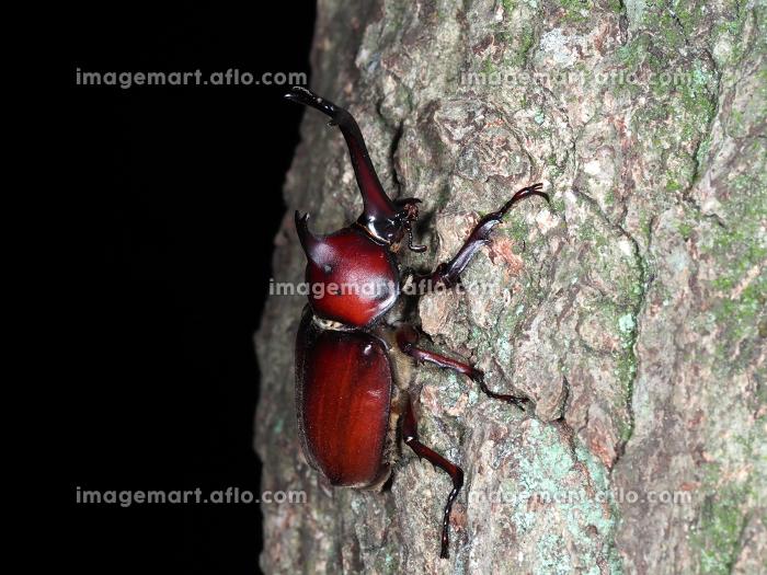夜間に樹液を求めて木を登るカブトムシ 昆虫 虫 夜行性 成虫 生物 夏休み むし オス かぶとむし