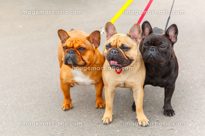 three domestic dogs French Bulldog breedの販売画像