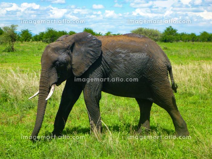 タンザニア・ンゴロンゴロ国立公園サファリゲームにて1匹の大人のゾウの販売画像