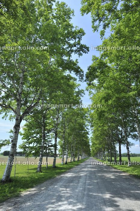 白樺並木の道の販売画像