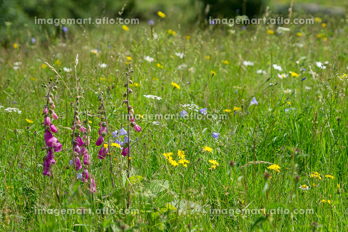 Wild flowers are left to bloom on meadow land on the floor of Langdale valley , Great Langdale, England, United Kingdomの販売画像
