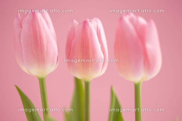 チューリップの花の販売画像