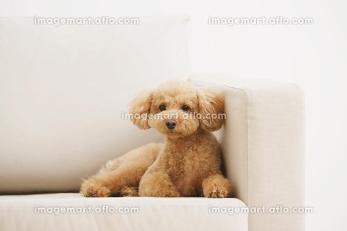 ソファの上でくつろぐトイプードル犬