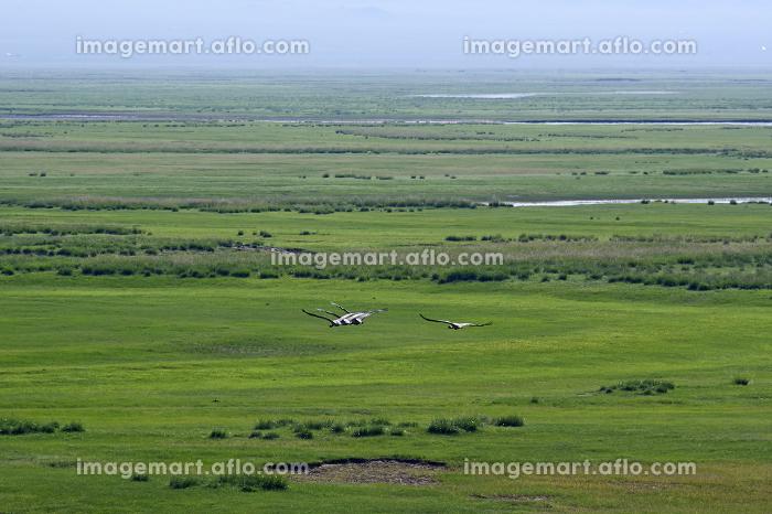 モンゴルの大草原を飛ぶアネハヅル