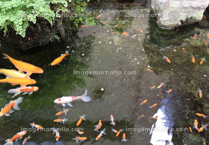 金魚と鯉のコラボレーションの販売画像