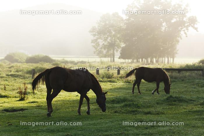 日本の北海道東部・9月の牧場、逆光の朝靄に浮の販売画像
