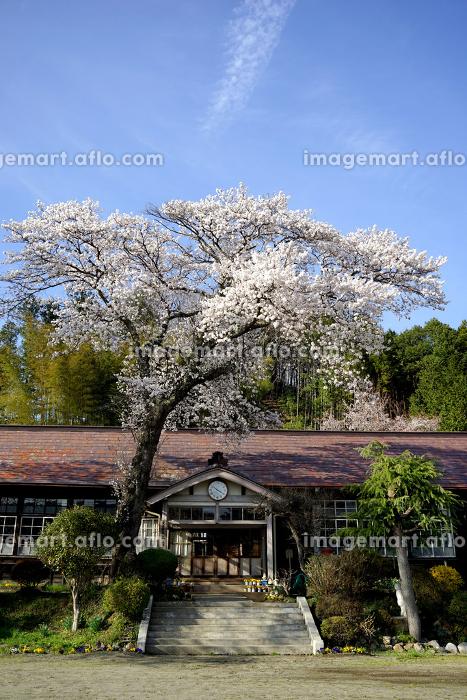旧上岡小学校と桜の花の販売画像